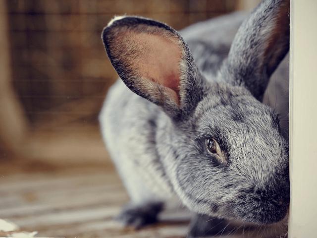Chov králikov