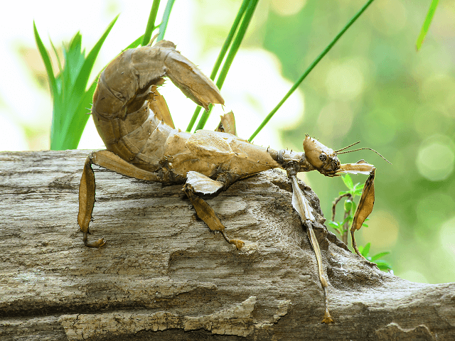 Strašilka Extatosoma tiaratum