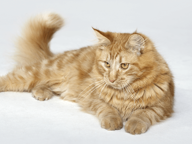 Červená mainská mývalia mačka