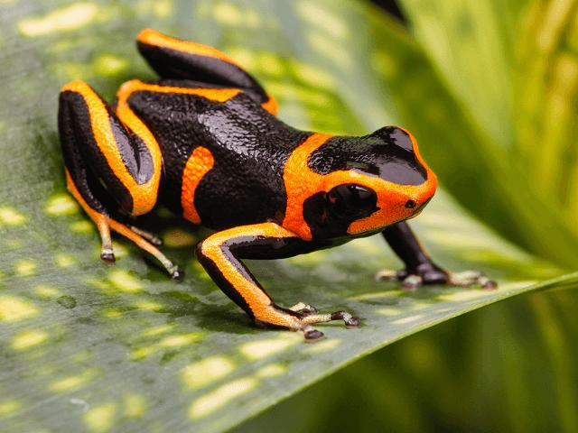 Jedovatá žaba z čeľade pralesničkovité