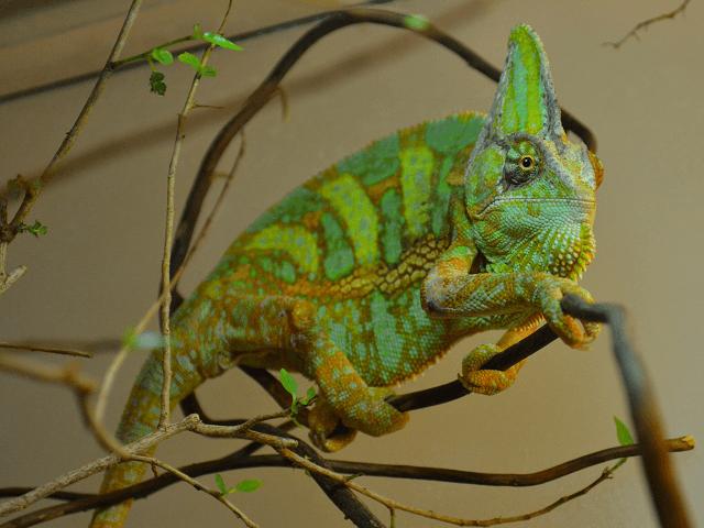 Chameleón jemenský