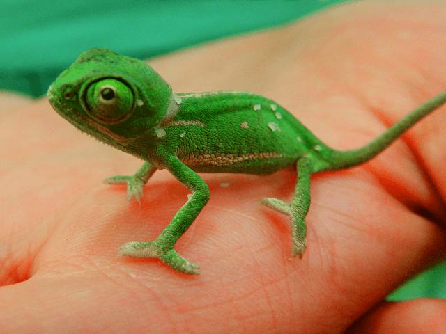 Mláďa chameleóna jemenského