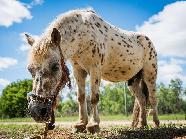 Shetlandský poník