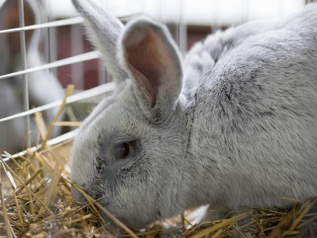 Sivý králik v klietke