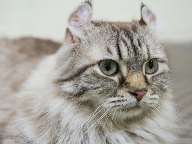 Americká kučeravá mačka - Magazín Chovateľa 18be8fe4b2c