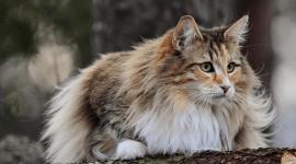 Mainská mývalia mačka - Magazín Chovateľa 1faeca9a8aa